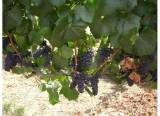 Of course, winery grapes